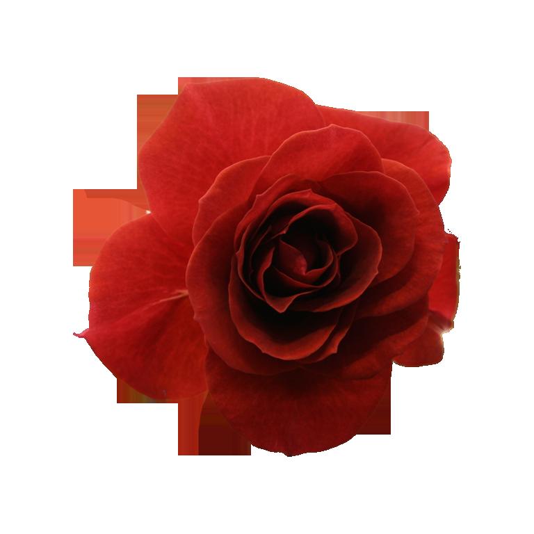 玫瑰素材 70p